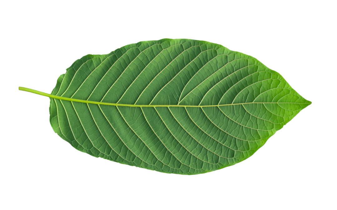 The FDA's Proposed Kratom Ban is a Mistake